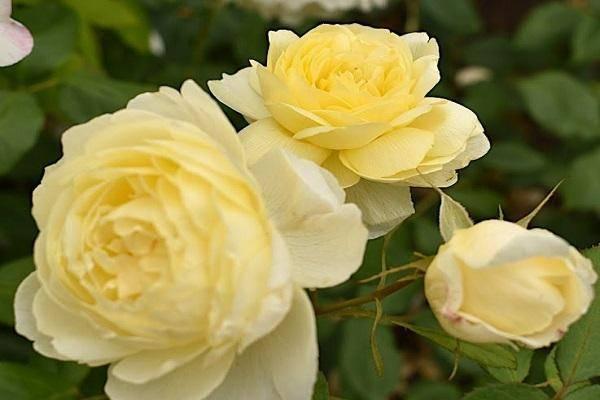 Описания и характеристики лучших новых сортов роз