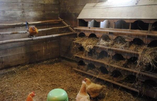 Сколько живет курица