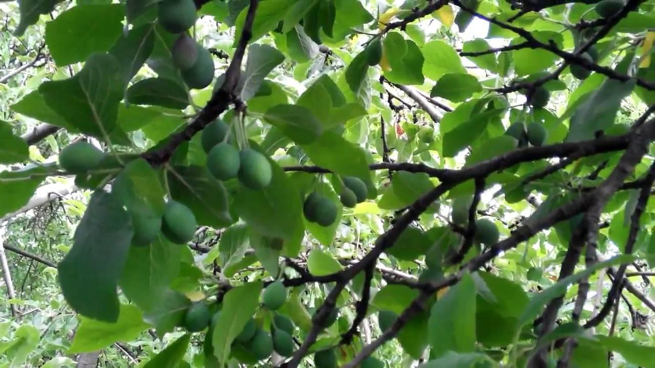Слива сбрасывает плоды, что делать?