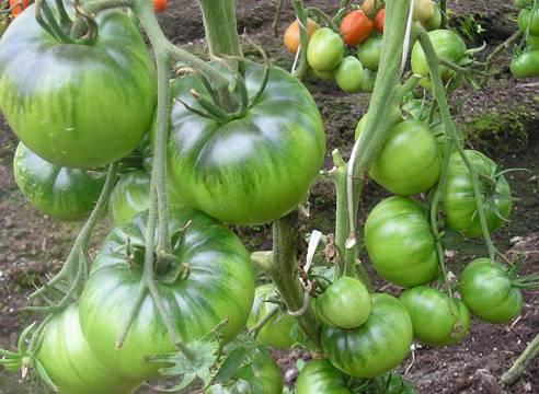 Сорт с экзотическим вкусом и удивительным внешним видом — томат «ирландский ликер»: выращиваем и удивляем соседей