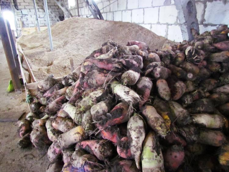 Выращивание кормовой свеклы для животных