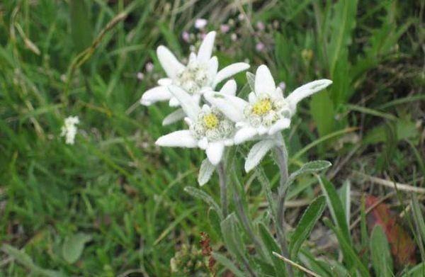 Цветок эдельвейс: выращивание и уход