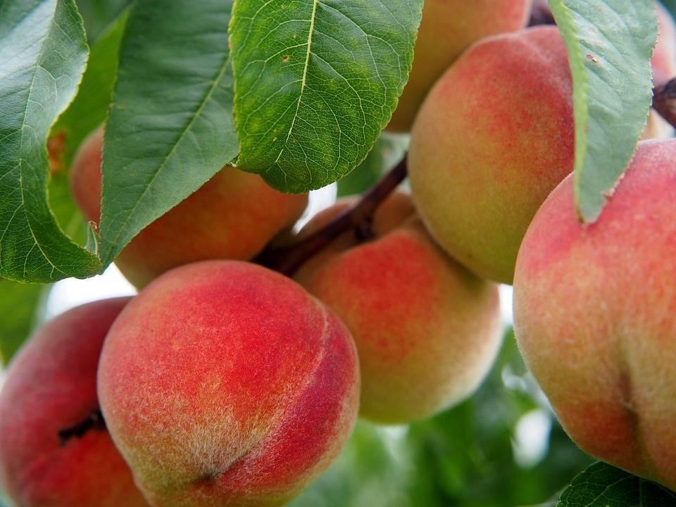 Польза и вред персиков для здоровья