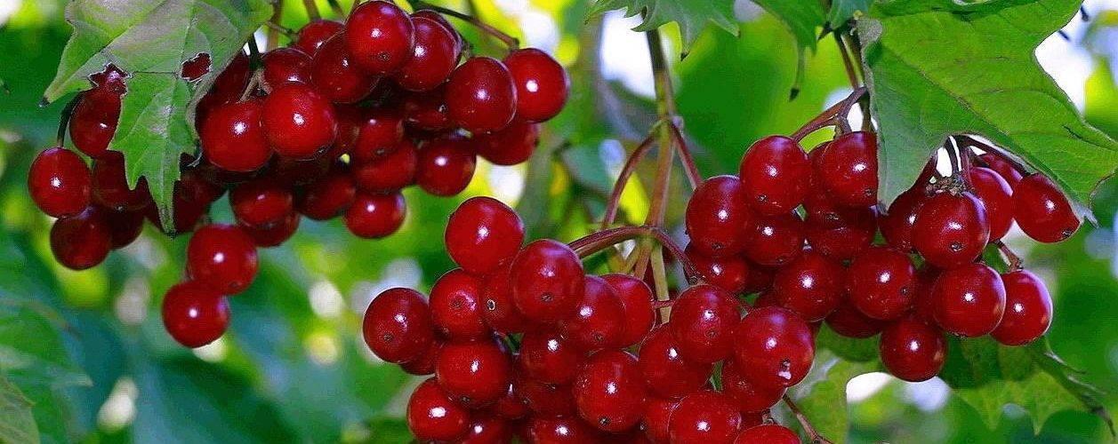 Лечебные свойства и противопоказания калины, польза и народные рецепты