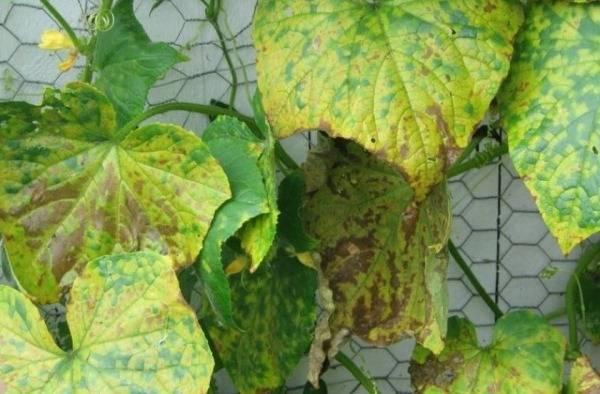 Как лечить бурые пятна на листьях огурцов, меры борьбы