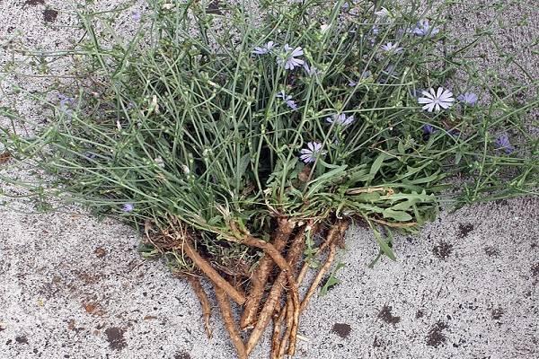 Как правильно собирать и сушить корень и цветы цикория в домашних условиях