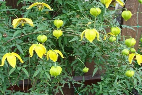 Правила посадки и выращивания клематиса тангутского, нюансы ухода