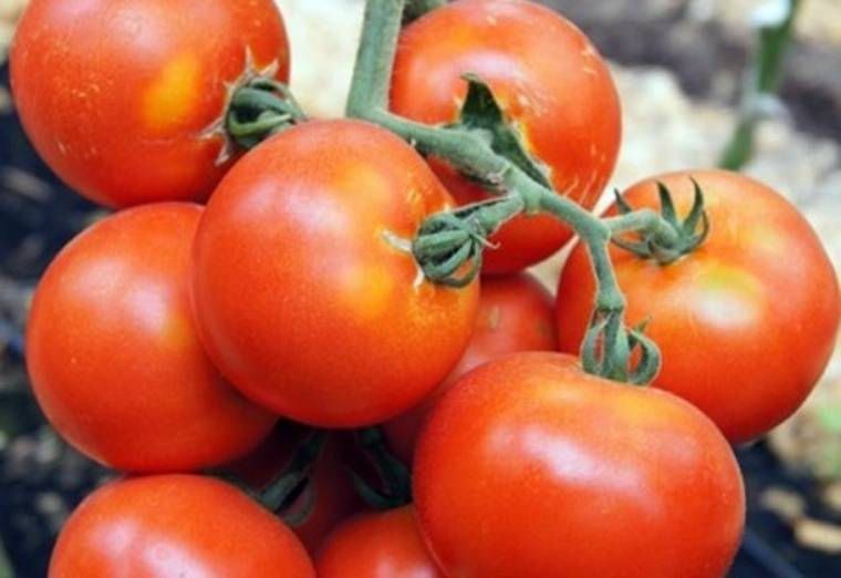 Описание и основные характеристики томата оля f1