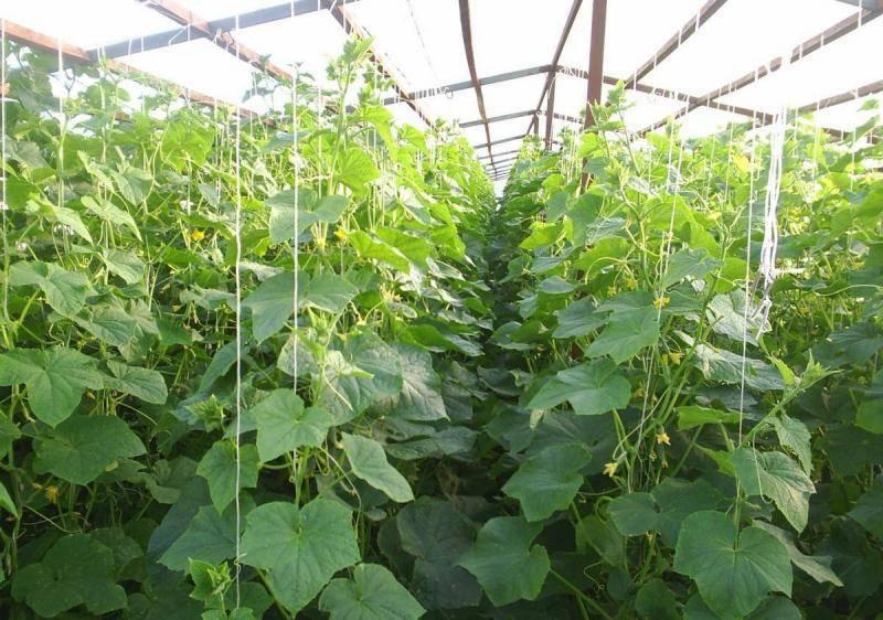 9 самых урожайных сортов огурцов для открытого грунта