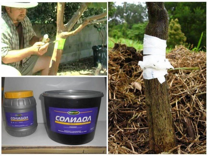 Как изготовить ловушки против муравьев для плодовых деревьев своими руками