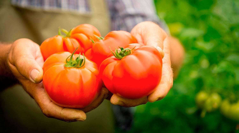 Почему чернеют помидоры – плоды, листья, стебель. что с этим делать