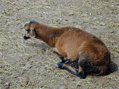 Популярные заболевания овец