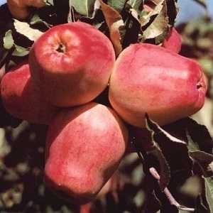 Клубная яблоня элиза