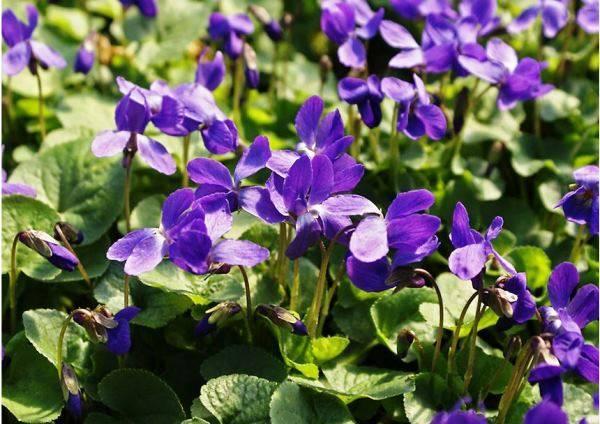 Уход за многолетними цветами и растениями