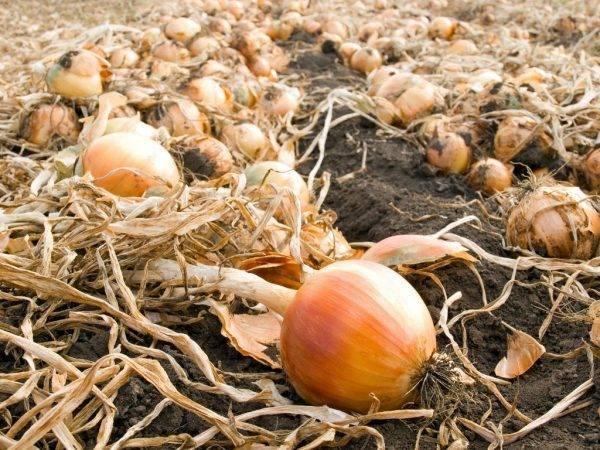 Признаки и сроки: когда убирать лук с грядки и как готовить к хранению?
