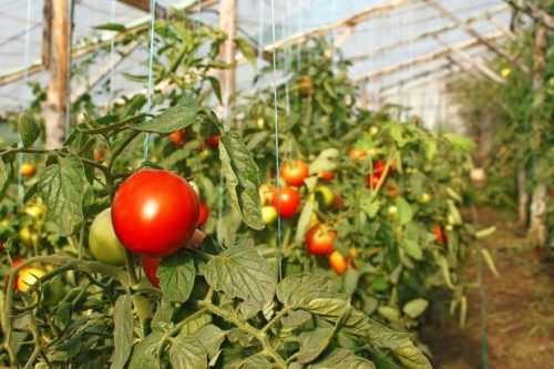 Лучшие сорта помидор для сибири в теплице