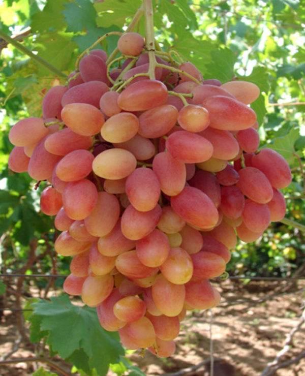 Описание сорта винограда заря несветая