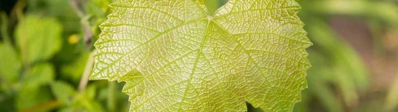 Хлороз: лечение и профилактика, меры борьбы