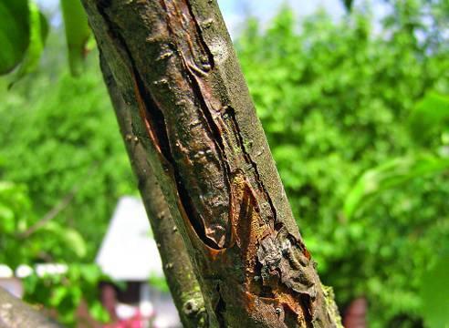 Болезни и вредители яблонь: причины и борьба