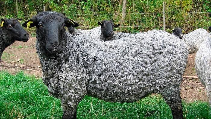 Описание и характеристики овец каракульской породы, правила разведения