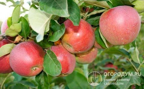Характеристики и описание сорта яблонь рихард, морозоустойчивость и применение
