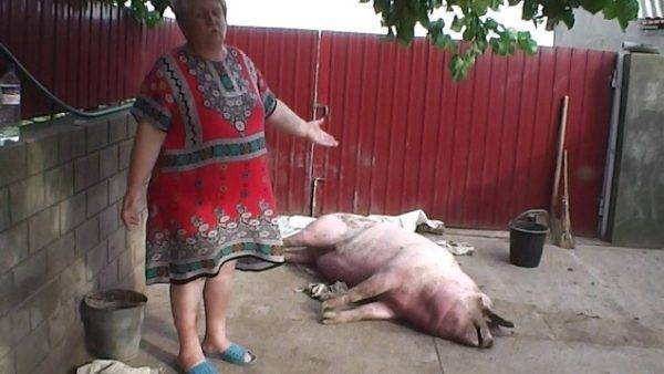 Нормальные показатели температуры у свиней, способы измерения, причины повышения