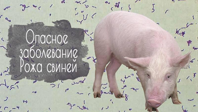 Симптомы и лечение рожы у свиней