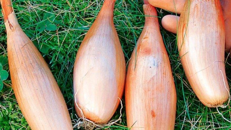 Описание разновидности лука геркулес