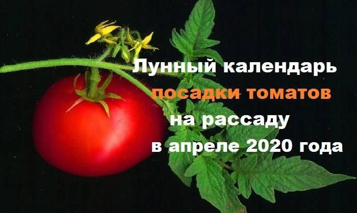 Когда сажать помидоры на рассаду в 2020 году, чтобы вырастить богатый урожай томатов.
