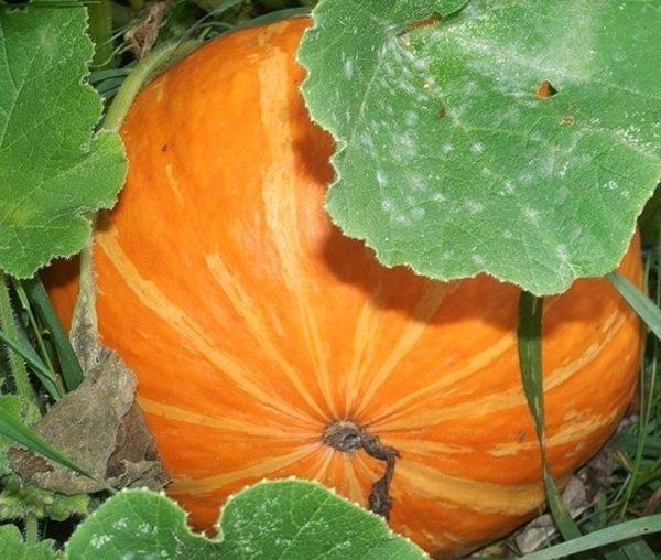 Сажаем семена тыквы правильно и ухаживаем за посаженной рассадой
