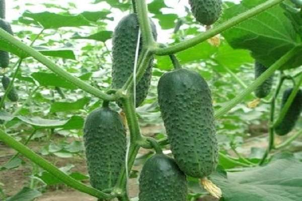 Перспективный и высокоурожайный гибрид огурцов «кибрия», легкий в уходе и приятный на вкус
