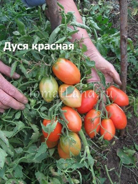 Характеристика и описание сорта томата Дуся красная