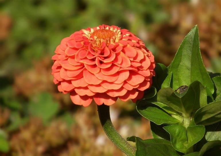 Цветы, которые размножаются сами: список вечных однолетних и многолетних цветов-самосевов