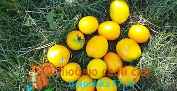 Неприхотливый сорт томата «желтая груша», очень красиво смотрится в банке зимой