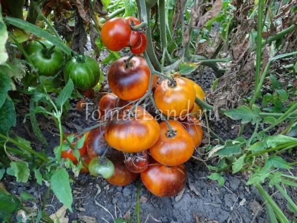 Томаты верочка f1: характеристика и описание сорта, выращивание и уход