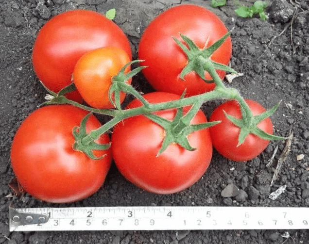 Лучшие сорта томатов черри 2019, по мнению членов клуба томатоводов-любителей