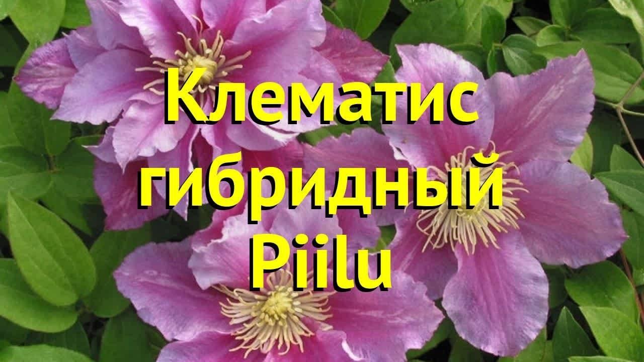 Клематис «ниобе»: описание, рекомендации по выращиванию и размножению