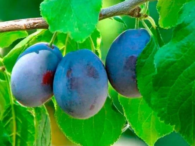 Описание сорта сливы Генеральской, выращивание и уход за деревом