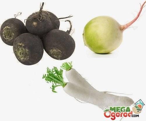 Популярный и необычный гибрид — арбузная редька: описание, особенности выращивания, достоинства и недостатки