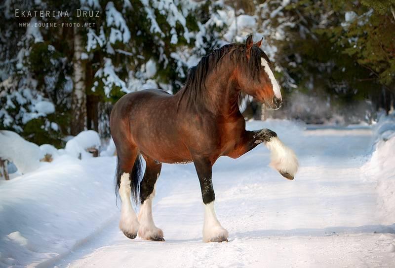 Владимирский тяжеловоз — порода лошади