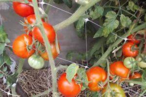 Томат пинк буш f1: отзывы, фото куста, описание, урожайность, достоинства и недостатки сорта