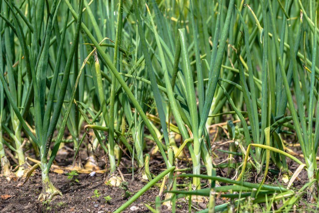 Какие черви едят лук и чем обработать грядки для спасения урожая?