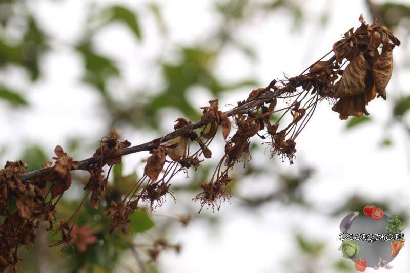 Как бороться с монилиозом вишни и черешни