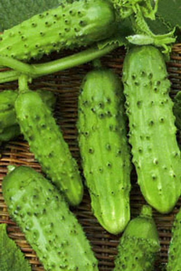 Характеристика и секреты выращивания сорта огурцов «сестрица аленушка f1»