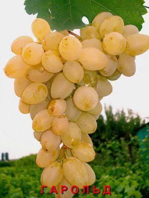 Виноград гарольд: разбираем досконально