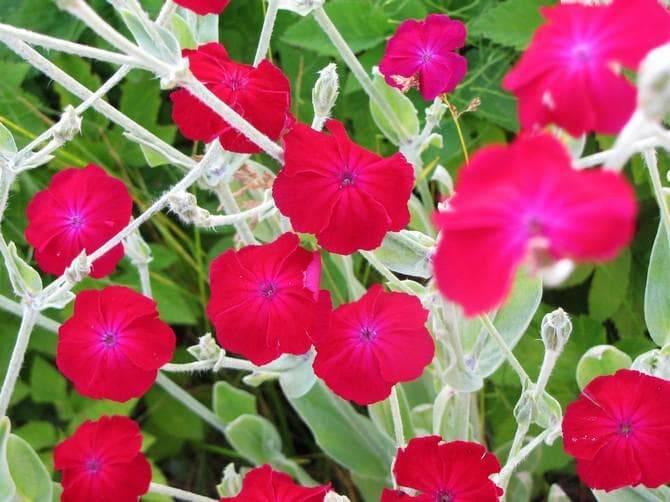 Лихнис: посадка и уход в саду, выращивание из семян