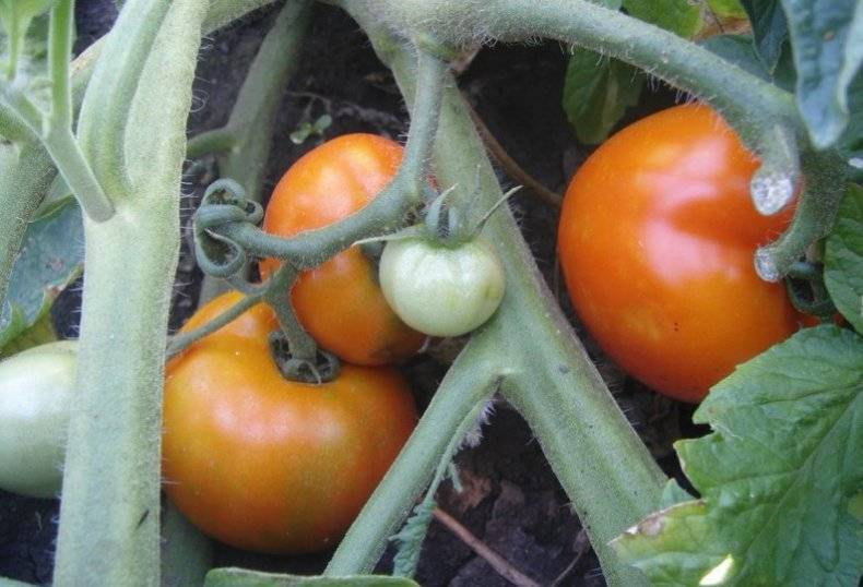 Томат «семейный f1»: невероятная урожайность гарантирована