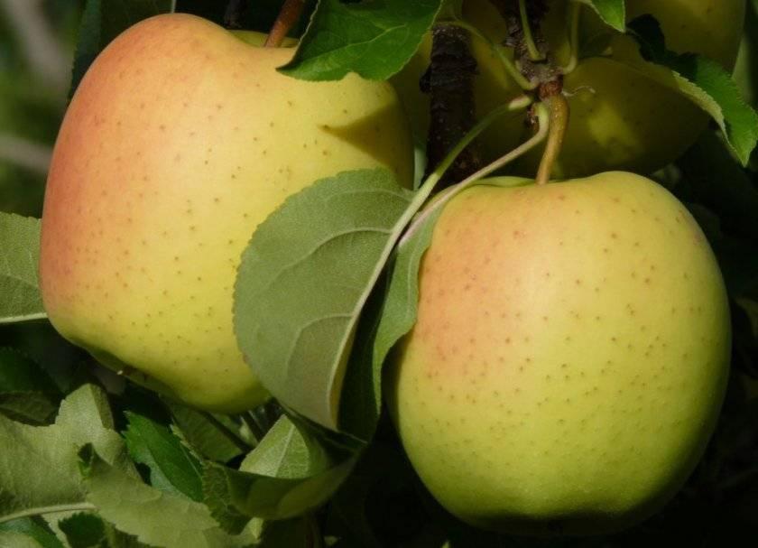 Настоящее золотое искушение — яблоки голден делишес