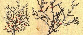 Когда и как цветёт и плодоносит черешня в разных регионах