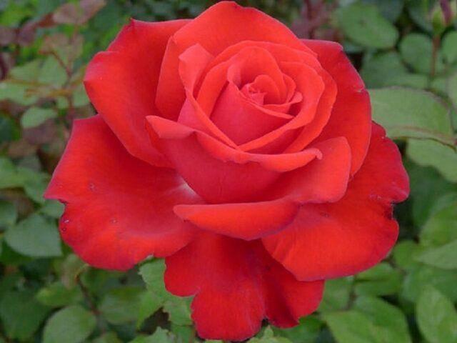 Роза супер гранд аморе — чайно-гибридная любовь кордеса